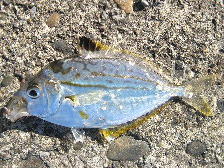 福井若狭魚ヒイラギの画像