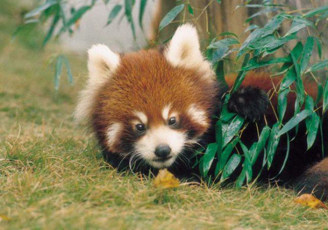 【鯖江市】西山動物園のレッサーパンダが可愛すぎ!?日本一小さい動物園の実態とは?