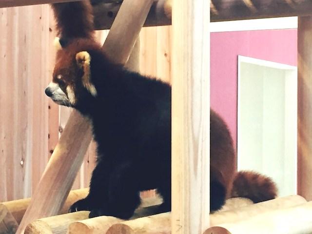 福井鯖江西山動物園レッサーパンダ