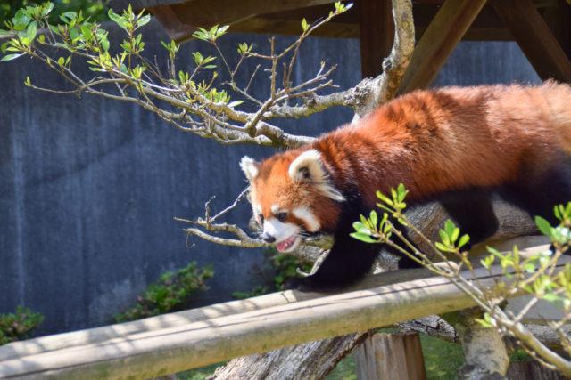 西山動物園のレッサーパンダが可愛すぎ!?日本一小さい動物園ってどんなところ?【鯖江市】