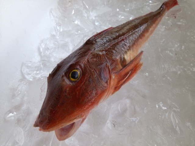 若狭魚福井ホウボウの画像