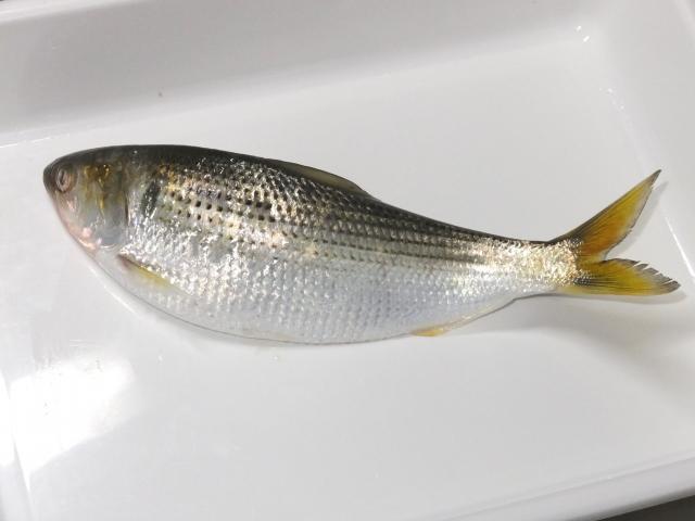若狭福井魚コノシロの画像