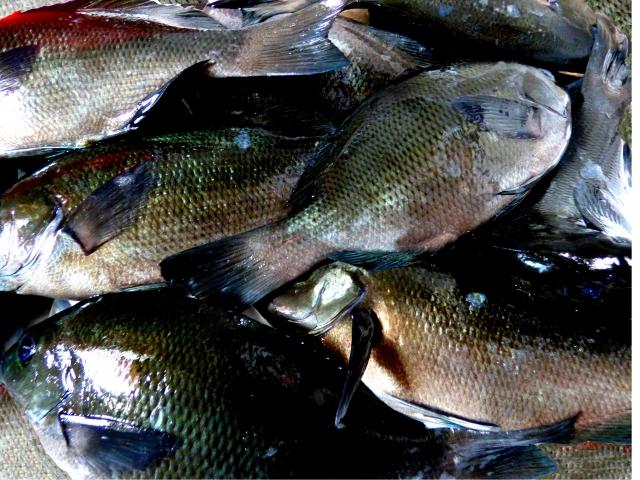 地魚の聖地。若狭路魚メジナの画像