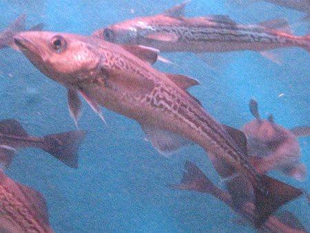 若狭魚スケトウダラ福井の画像