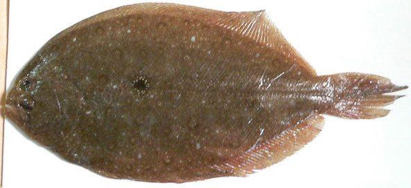 若狭福井魚ガンゾウヒラメの画像