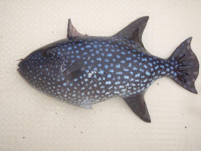 福井魚若狭アミモンガラの画像