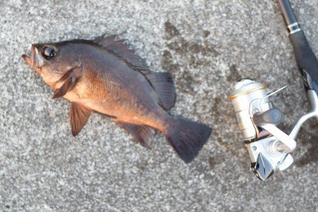 福井若狭魚メバルの画像