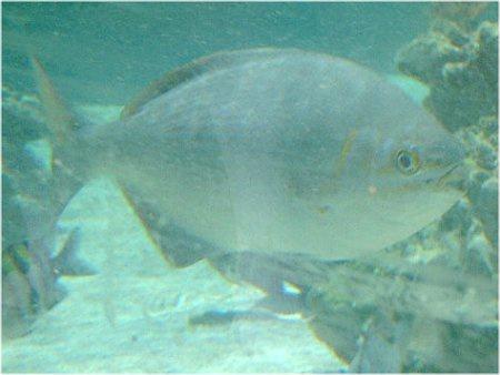 福井魚若狭イスズミの画像
