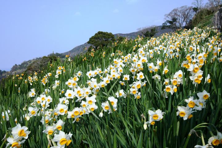 福井越前水仙ランドの画像