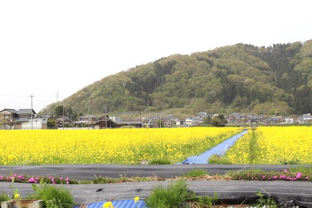 福井鯖江菜の花エコファーム舟枝の画像
