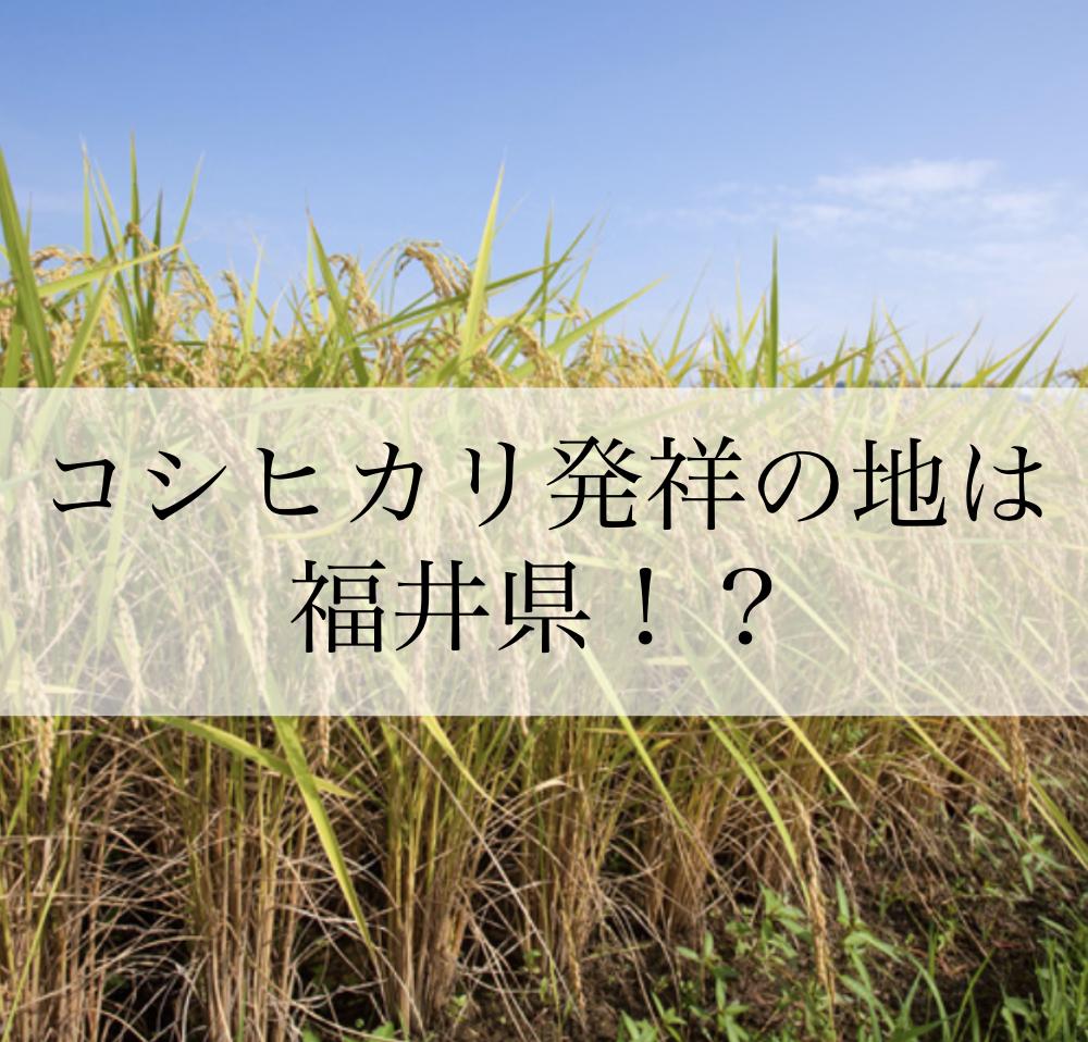 コシヒカリの発祥は福井県!?その真相は?さらに、池田町の美味しい米作りについてご紹介!